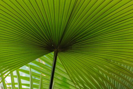 Texture of palm leaves  green  background Stock Photo