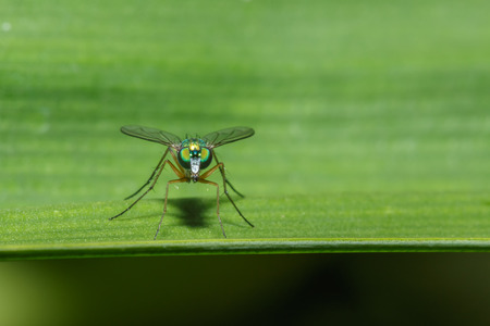Green flies with long legs on leaves green