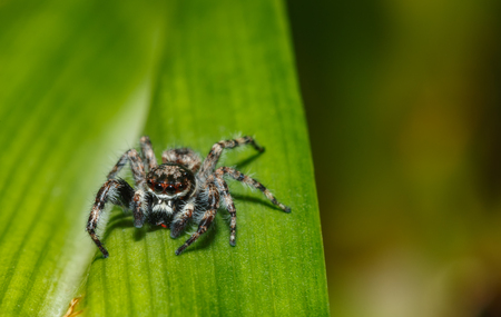 jumping spider: Jumping spider on green leaves