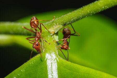 red ant: Red ant two  on a leaves  green  background