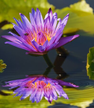 purple lotus: Purple lotus reflected in water