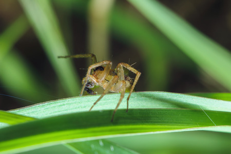 jumping spider: Jumping spider with long legs on the grass leaves
