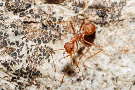red ant: Red ant on  tree  background with in nature Stock Photo