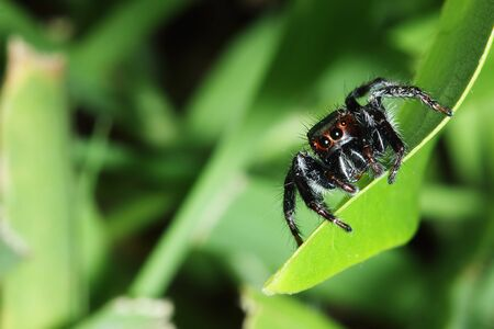 jumping spider: Jumping spider  on the grass leaves Stock Photo