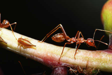 red ant: Red ant on branch tree with black  background Stock Photo