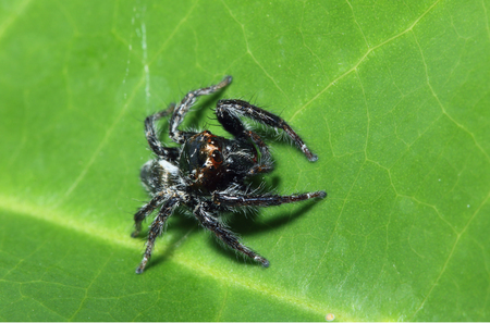 jumping spider: Jumping spider  on the green grass leaves