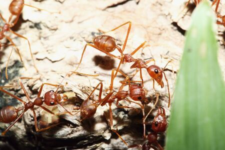 red ant: Red ant of teamwork on a background