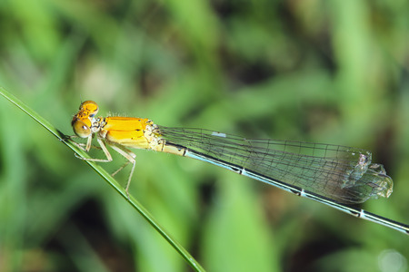 Dragonfly  on a grass leaf outdoor