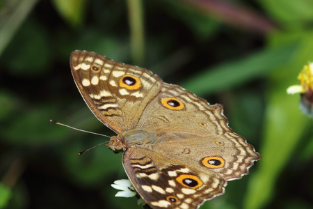 Close up common  butterfly on grass leaf