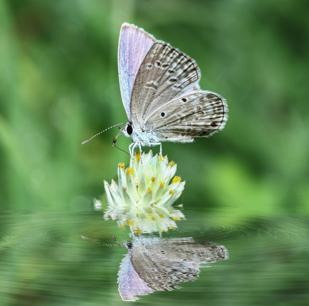 reflection: Butterfly small on flowers with in water  reflection