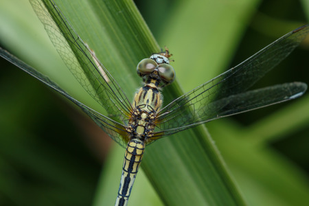 Dragonfly on green grass leaves  close up