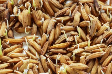 germinación: Germinación de semillas, Plántulas Planta de arroz. En el fondo blanco