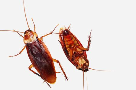 Two Cockroach on a isolated white background Stock Photo