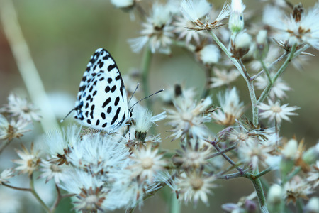 Small butterfly with black and white wings.