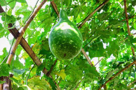 yielding: Hanging winter melon in the garden outdoor
