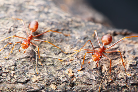 Red ant walk on a tree