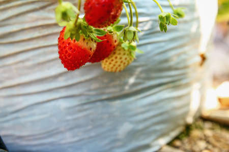 Fresh strawberries that are grown in garden agriculture outdoor