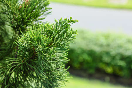 Pine leaves in garden nature outdoor Stock Photo