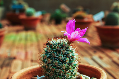 The pink succulents and cactus blooming flowers stock photo picture stock photo the pink succulents and cactus blooming flowers mightylinksfo