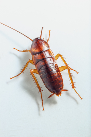 Cockroach brown on white background ,Top view