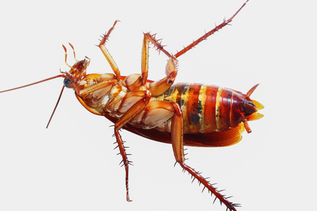 Cockroach brown with isolated on a white background