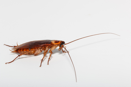 Cockroach brown on a white background