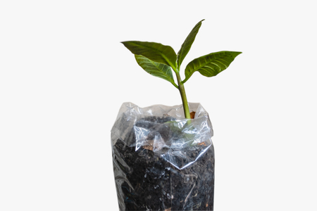 Cashew tree, young plant in bag plastic with is soil isolated on a white Stock Photo