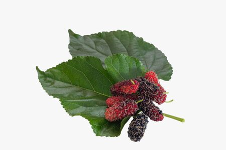 Fresh organic mulberry, black ripe and red unripe mulberries on white background. Fruits that are high in vitamin C.