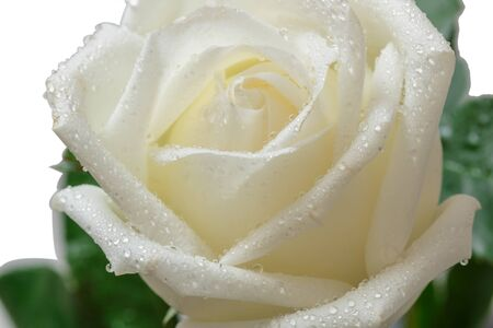 Close up white rose with water drops on petals Standard-Bild