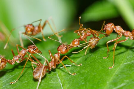 The Red Ant team is on the way. Help friends On the green leaves,Macro photography
