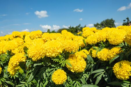 Beautiful yellow marigold flowers in the meadow in garden on sky