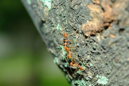Macro photography,Red ant walk on a tree ,close up
