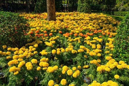 Beautiful yellow marigold flowers in the  outdoor garden  background