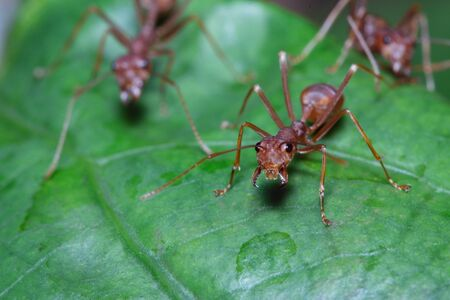 Macro photography,Red ant walk on a leaves green background ,close up