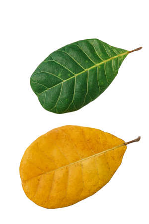 Green leaf and yellow isolated on a white background 版權商用圖片