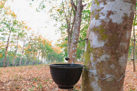 Close-up of the rubber latex drop from a rubber tree dripping into the secondary cup 版權商用圖片