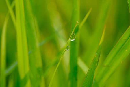 Dew drop purity on green leaf