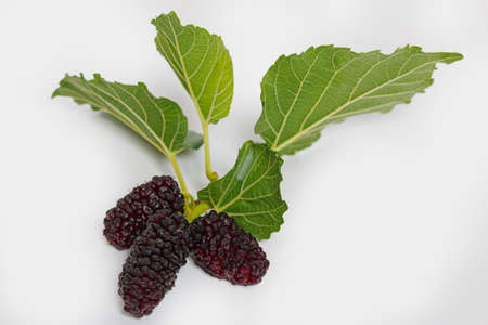 Mulberry black ripe and red unripe