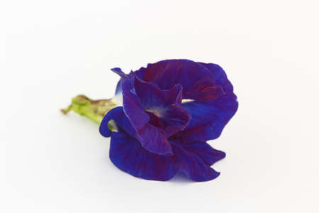 Close up, Blue pea flower isolated on white background. (Clitoria ternatea) Фото со стока