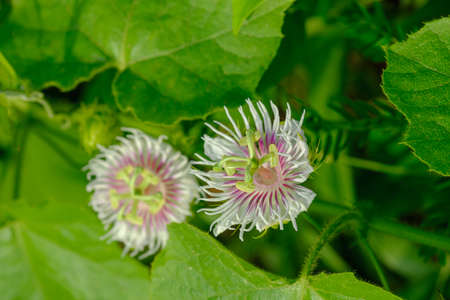 Passiflora foetida in the nature of tropical plant on green leaf background