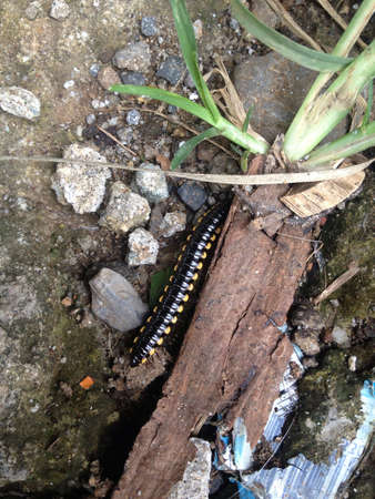 arthropoda: Black millipede