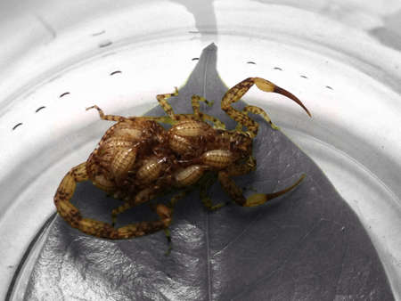 arachnids: Scorpion with youngs at the back Stock Photo