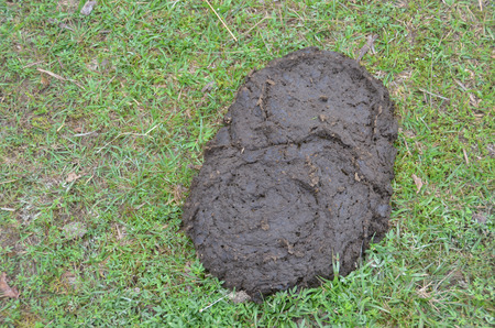 Close-up of animal excrement on green grass ground, at agriculture farm Stock Photo