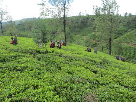 Workers picking tea leaves in a plantation