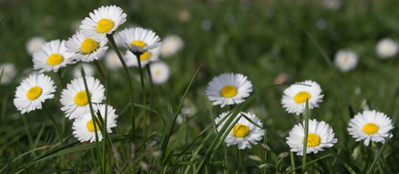 Daisy is first day of spring look like a a moon daisy and yellow eyes 免版税图像