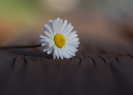 Daisy is first day of spring look like a a moon daisy and yellow eyes