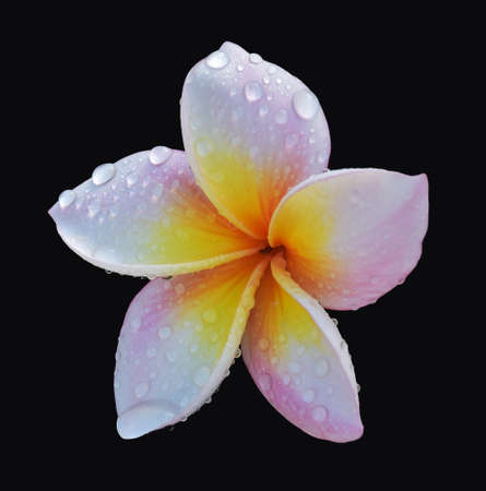 Isolated pink blossom flower with water drops on black background Stock Photo