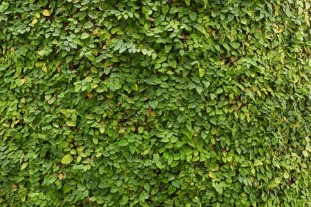 creeping plant: Ficus pumila, Creeping Fig as wallpaper, nature background Stock Photo