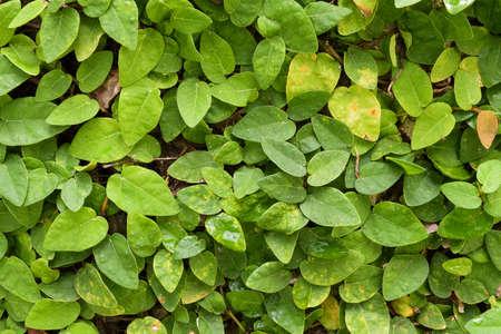 Creeping Fig as wallpaper, nature background, closeup Stock Photo