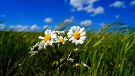 camomile: Camomile in a field.